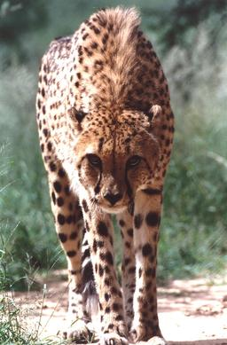 Guépard en Namibie. Source : http://data.abuledu.org/URI/52d69365-guepard-en-namibie