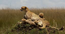 Guépard et ses petits. Source : http://data.abuledu.org/URI/52d69b8b-guepard-et-ses-petits