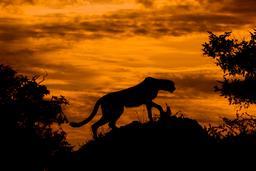 Guépard le soir à contre-jour. Source : http://data.abuledu.org/URI/55ea04e2-guepard-le-soir-a-contre-jour