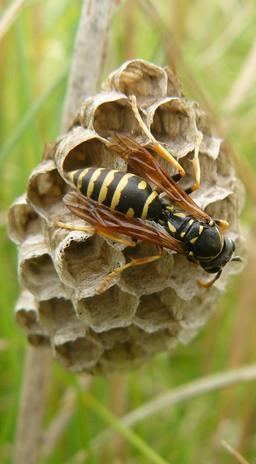 Guêpe sociale sur sa ruche. Source : http://data.abuledu.org/URI/542d172f-guepe-sociale-sur-sa-ruche