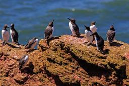 Guillemots sur l'île de Heligoland. Source : http://data.abuledu.org/URI/58cee39e-guillemots-sur-l-ile-de-heligoland