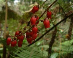 Hampe florale de bois de rempart réunionnais. Source : http://data.abuledu.org/URI/522846d1-hampe-florale-de-bois-de-rempart-reunionnais