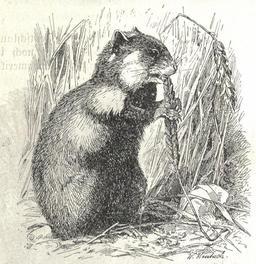 Hamster grignotant un brin de blé. Source : http://data.abuledu.org/URI/51fd14a2-hamster-grignotant-un-brin-de-ble