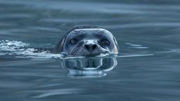 Phoque veau-marin dans un fjord norvégien. Source : http://data.abuledu.org/URI/57f60080-harbor-seal-phoca-vitulina-at-magdalen-fjord-svalbard-1-jpg