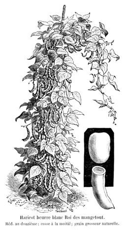 Haricot beurre blanc Roi des mangetout. Source : http://data.abuledu.org/URI/5470f10f-haricot-beurre-blanc-roi-des-mangetout