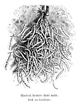 Haricot beurre doré nain. Source : http://data.abuledu.org/URI/54710f8f-haricot-beurre-dore-nain