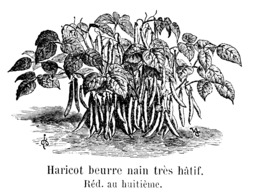 Haricot beurre nain très hâtif. Source : http://data.abuledu.org/URI/5471111a-haricot-beurre-nain-tres-hatif
