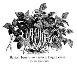 Haricot beurre noir nain à longue cosse. Source : http://data.abuledu.org/URI/5471d0f4-haricot-beurre-noir-nain-a-longue-cosse
