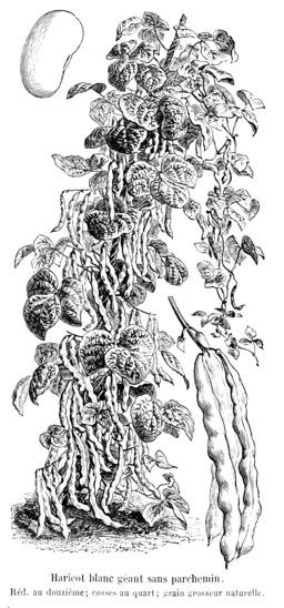 Haricot blanc géant sans parchemin. Source : http://data.abuledu.org/URI/5471d1dd-haricot-blanc-geant-sans-parchemin