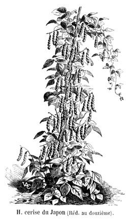 Haricot cerise du Japon. Source : http://data.abuledu.org/URI/5471d293-haricot-cerise-du-japon