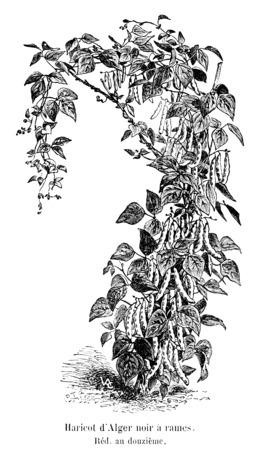 Haricot d'Alger noir à rames. Source : http://data.abuledu.org/URI/5471d358-haricot-d-alger-noir-a-rames