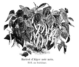 Haricot d'Alger noir nain. Source : http://data.abuledu.org/URI/5471d2f3-haricot-d-alger-noir-nain
