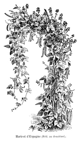 Haricot d'Espagne. Source : http://data.abuledu.org/URI/5471d45c-haricot-d-espagne