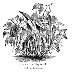 Haricot de Bagnolet. Source : http://data.abuledu.org/URI/5471df45-haricot-de-bagnolet