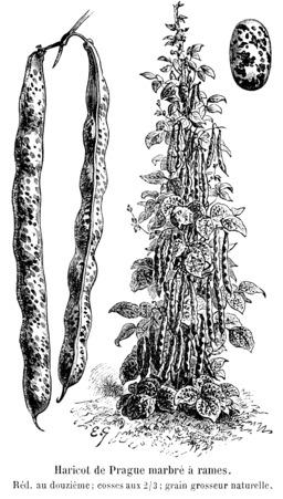 Haricot de Prague marbré à rames. Source : http://data.abuledu.org/URI/5471e381-haricot-de-prague-marbre-a-rames