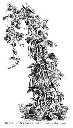 Haricot de Soissons à rames. Source : http://data.abuledu.org/URI/5471e445-haricot-de-soissons-a-rames