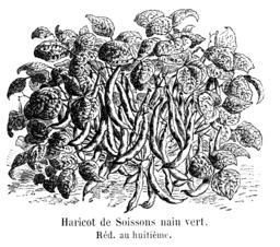 Haricot de Soissons nain vert. Source : http://data.abuledu.org/URI/5471e3e3-haricot-de-soissons-nain-vert