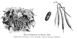 Haricot Empereur de Russie. Source : http://data.abuledu.org/URI/5471e5b0-haricot-empereur-de-russie