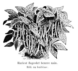 Haricot flageolet beurre nain. Source : http://data.abuledu.org/URI/54720d4d-haricot-flageolet-beurre-nain-vilmorin-andrieux-1904