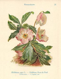Héllébore noir ou rose de Noël. Source : http://data.abuledu.org/URI/53ad76d9-hellebore-noir-ou-rose-de-noel