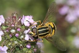 Hélophile suspendu butinant une fleur. Source : http://data.abuledu.org/URI/5415d7c6-helophile-suspendu-butinant-une-fleur