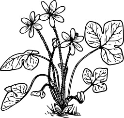 Hepatica. Source : http://data.abuledu.org/URI/504bd29a-hepatica