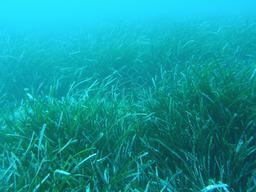 Herbier de posidonies en méditerranée. Source : http://data.abuledu.org/URI/50e46a05-herbier-de-posidonies-en-mediterranee