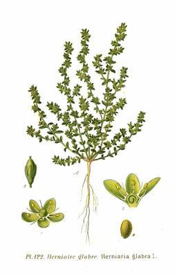 Herniaire glabre. Source : http://data.abuledu.org/URI/504e6295-herniaire-glabre
