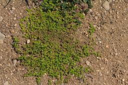 Herniaire glabre. Source : http://data.abuledu.org/URI/504e633f-herniaire-glabre