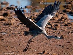 Héron cendré aux Canaries. Source : http://data.abuledu.org/URI/56b799e2-heron-cendre-aux-canaries