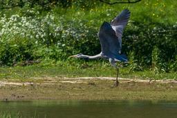 Héron cendré en vol. Source : http://data.abuledu.org/URI/56b795f2-heron-cendre-en-vol