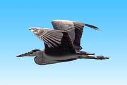 Héron cendré en vol. Source : http://data.abuledu.org/URI/56b798d3-heron-cendre-en-vol