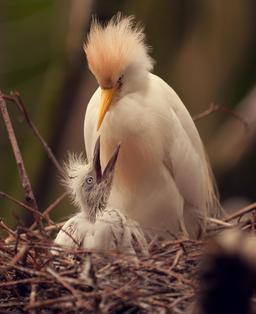 Héron garde-boeufs nourrissant son petit. Source : http://data.abuledu.org/URI/5543cfca-heron-garde-boeufs-nourrissant-son-petit