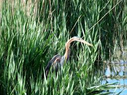 Héron pourpré dans les roseaux en Espagne. Source : http://data.abuledu.org/URI/5505fa43-heron-pourpre-dans-les-roseaux-en-espagne