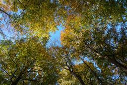 Hêtres en automne. Source : http://data.abuledu.org/URI/5652bc9a-hetres-en-automne