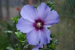 Hibiscus bleu. Source : http://data.abuledu.org/URI/51881a23-hibiscus-bleu