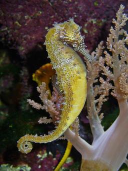 Hippocampe. Source : http://data.abuledu.org/URI/47f50c6c-hippocampe