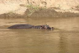 Hippopotame. Source : http://data.abuledu.org/URI/50879c1e-hippopotame