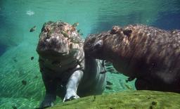 Hippopotame sous l'eau. Source : http://data.abuledu.org/URI/47f505a9-hippopotame-sous-l-eau