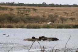 Hippopotames. Source : http://data.abuledu.org/URI/47f50578-hippopotames