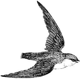 Hirondelle. Source : http://data.abuledu.org/URI/53eb8a53-hirondelle