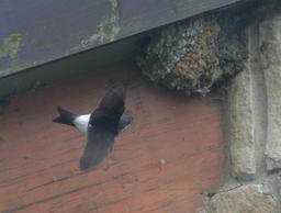 Hirondelle de fenêtre au nid. Source : http://data.abuledu.org/URI/518828c7-hirondelle-de-fenetre-au-nid