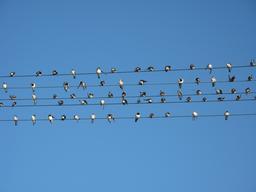 Hirondelles posées sur des fils électriques. Source : http://data.abuledu.org/URI/51882839-hirondelles-posees-sur-des-fils-electriques