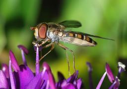 Insecte posé sur une fleur. Source : http://data.abuledu.org/URI/5398e7a5-hoverfly-april-2008-1-jpg