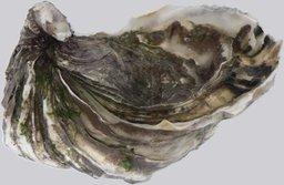huître. Source : http://data.abuledu.org/URI/5051ae20-huitre