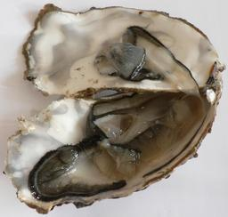 Huîtres de Marennes-Oléron. Source : http://data.abuledu.org/URI/509bce38-huitres-de-marennes-oleron