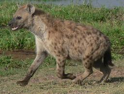 Hyène tachetée. Source : http://data.abuledu.org/URI/52778093-hyene-tachetee