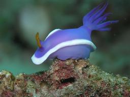 Hypselodoris bullocki. Source : http://data.abuledu.org/URI/503a5e53-hypselodoris-bullocki