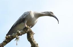 Ibis plombé en Uruguay. Source : http://data.abuledu.org/URI/55014815-ibis-plombe-en-uruguay