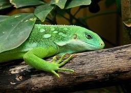 Iguane des Fidji. Source : http://data.abuledu.org/URI/54fe8c69-iguane-des-fidji